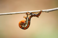Acrobat worm. (Thyas sp.) on the stick Royalty Free Stock Photo
