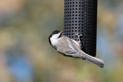 Acrobatic Chickadee Stock Images