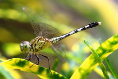 Acrobatic Dragon Fly. I did close taking this picture and I saw from my camera that the head of the dragon fly was looking at me. It appeared that it knew that I Stock Photos