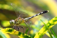 acrobatic drakefluga Arkivfoton