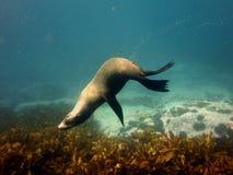 Acrobatic fur seal Stock Photos