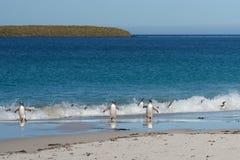 Acrobatic Gentoo Penguins Stock Image