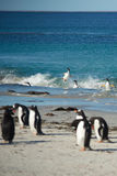 Acrobatic Gentoo Penguins Stock Photo