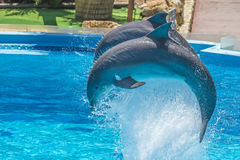 Acrobatic jumps, dolphin show Stock Photography