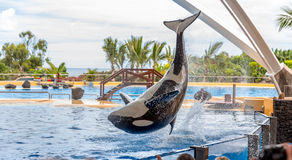 Acrobatic Killer Whale Royalty Free Stock Photo