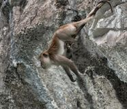 Acrobatic long tailed monkey. Monkey island is small island of the coast of thailand that is inhabited predominately by monkeys. It can be only accessed by boat Stock Photo