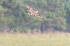 Acrobaties à oreilles courtes de hibou de jour Photo stock