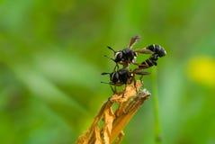 Acrobaties de faune - acte de couplage dans la famille de guêpe Photographie stock