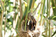 Acrocephalus bird royalty free stock photos