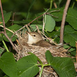 Acrocephalus dumetorum, Blyth's Reed Warbler Stock Photos