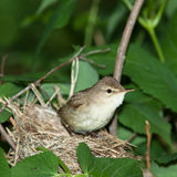 Acrocephalus dumetorum, Blyth's Reed Warbler Stock Images