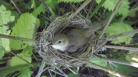 Acrocephalus dumetorum Das Nest des Blyth-` s Reed Warbler herein Stockfotografie