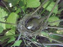 Acrocephalus dumetorum Das Nest des Blyth-` s Reed Warbler herein Lizenzfreies Stockfoto