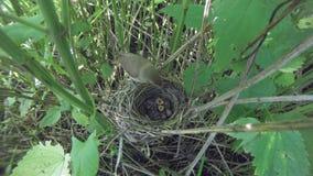 Acrocephalus dumetorum Das Nest des Blyth-` s Reed Warbler herein Stockbild