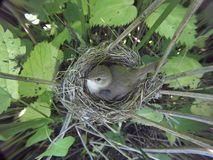 Acrocephalus dumetorum Das Nest des Blyth-` s Reed Warbler herein Stockfotos