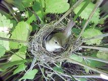 Acrocephalus dumetorum Das Nest des Blyth-` s Reed Warbler herein Stockfoto