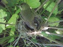 Acrocephalus dumetorum Das Nest des Blyth-` s Reed Warbler herein Lizenzfreie Stockfotos