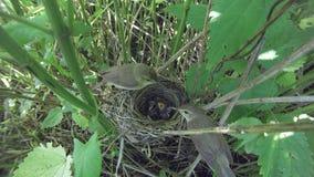 Acrocephalus dumetorum Das Nest des Blyth-` s Reed Warbler herein Lizenzfreie Stockbilder