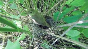 Acrocephalus dumetorum Das Nest des Blyth-` s Reed Warbler herein Stockbilder