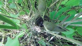 Acrocephalus dumetorum Das Nest des Blyth-` s Reed Warbler herein Lizenzfreie Stockfotografie