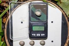 Acrocephalus dumetorum Die Eier des Blyth-` s Reed Warbler Lizenzfreies Stockbild