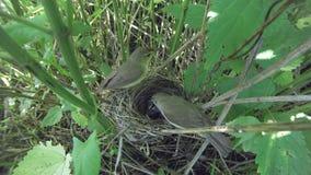 Acrocephalus dumetorum. The nest of the Blyth`s Reed Warbler in. Nature. Russia, the Ryazan region Ryazanskaya oblast, the Pronsky District, Denisovo Stock Photos