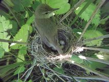 Acrocephalus dumetorum. The nest of the Blyth`s Reed Warbler in. Nature. Russia, the Ryazan region Ryazanskaya oblast, the Pronsky District, Denisovo Royalty Free Stock Image
