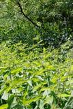 Acrocephalus dumetorum. The nest of the Blyth`s Reed Warbler in. Nature. Russia, the Ryazan region Ryazanskaya oblast, the Pronsky District, Denisovo. nesting Stock Photos