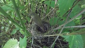 Acrocephalus dumetorum. The nest of the Blyth`s Reed Warbler in. Nature. Russia, the Ryazan region Ryazanskaya oblast, the Pronsky District, Denisovo Stock Image