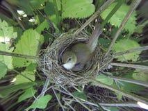 Acrocephalus dumetorum. The nest of the Blyth`s Reed Warbler in. Nature. Russia, the Ryazan region Ryazanskaya oblast, the Pronsky District, Denisovo Royalty Free Stock Photography