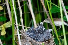 Acrocephalus palustris Das Nest Marsh Warblers in der Natur Stockbilder