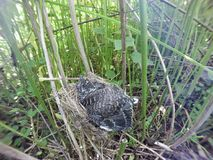 Acrocephalus palustris Das Nest Marsh Warblers in der Natur Stockfoto