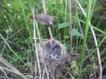 Acrocephalus palustris Das Nest Marsh Warblers in der Natur Stockbild
