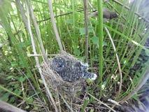 Acrocephalus palustris Das Nest Marsh Warblers in der Natur Lizenzfreies Stockbild