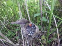 Acrocephalus palustris Das Nest Marsh Warblers in der Natur Stockfotografie