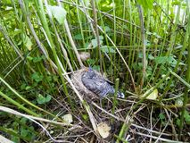Acrocephalus palustris Das Nest Marsh Warblers in der Natur Lizenzfreie Stockbilder