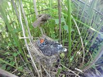 Acrocephalus palustris Das Nest Marsh Warblers in der Natur Lizenzfreies Stockfoto