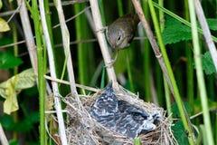 Acrocephalus palustris Das Nest Marsh Warblers in der Natur Lizenzfreie Stockfotografie