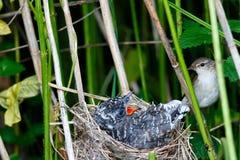 Acrocephalus palustris Das Nest Marsh Warblers in der Natur Stockfotos