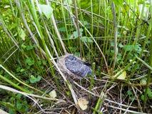Acrocephalus palustris Das Nest Marsh Warblers in der Natur Lizenzfreie Stockfotos
