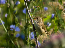 Acrocephalus palustris, Marsh Warbler Stock Photo