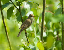 Acrocephalus palustris, Marsh Warbler Royalty Free Stock Photography