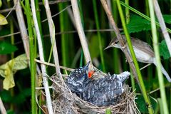 Acrocephalus palustris. The nest of the Marsh Warbler in nature. Common Cuckoo Cuculus canorus. Russia, the Ryazan region Ryazanskaya oblast, the Pronsky royalty free stock photos