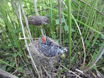 Acrocephalus palustris. The nest of the Marsh Warbler in nature. Common Cuckoo Cuculus canorus. Russia, the Ryazan region Ryazanskaya oblast, the Pronsky stock photo