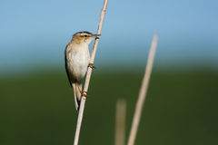 Acrocephalus schoenobaenus. Or sedge warbler on a reed stem, Matsalu National Park, Estonia Royalty Free Stock Images