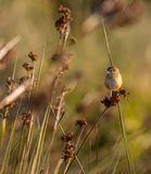 Acrocephalus schoenobaenus `Felosa-dos-juncos` at morning light in Cavado River estuary. royalty free stock photos