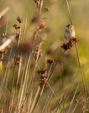 Acrocephalus schoenobaenus `Felosa-dos-juncos` at morning light in Cavado River estuary. stock photography