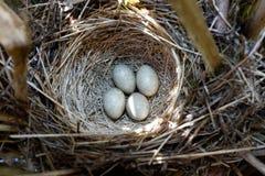 Acrocephalus schoenobaenus. The nest of the Sedge Warbler in nat Royalty Free Stock Photography