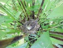 Acrocephalus schoenobaenus. The nest of the Sedge Warbler in nat Stock Photo