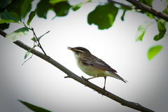 Acrocephalus schoenobaenus, Sedge Warbler. Warbler in a natural habitat. Wildlife Photography Stock Image